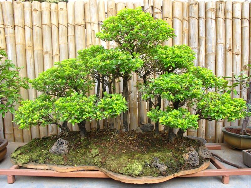 Floresta da planta dos bonsais. fotografia de stock