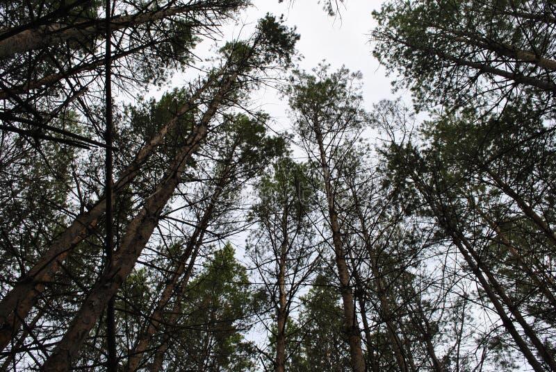 Floresta da região de Saratov foto de stock