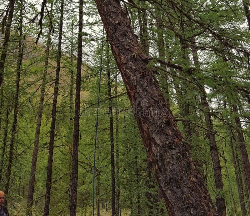 Floresta da relíquia no desfiladeiro da montanha de Altai foto de stock royalty free