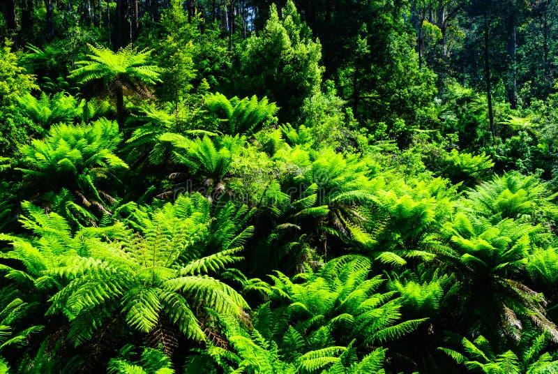 Floresta da samambaia do bulga de Tarra imagem de stock royalty free