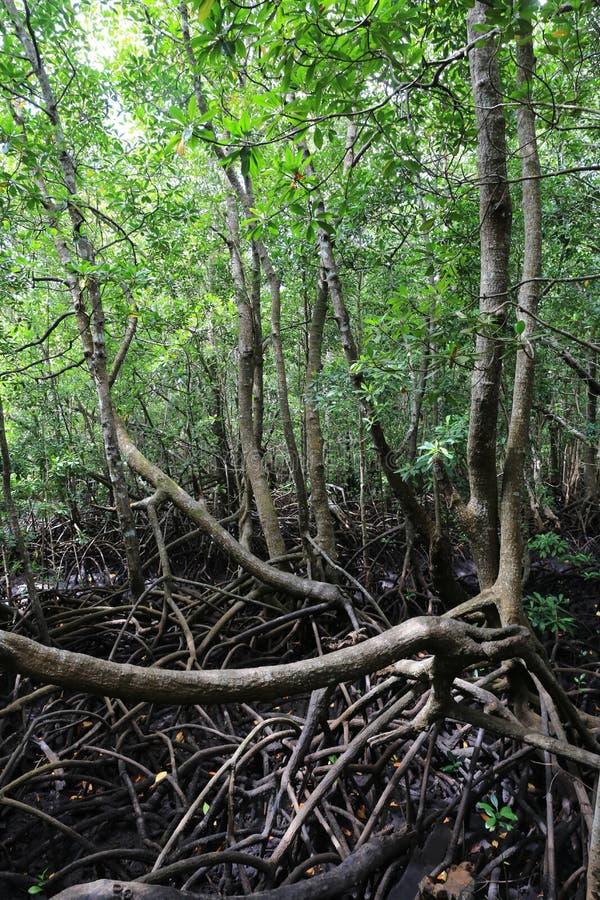 Floresta da selva de Magrove imagem de stock