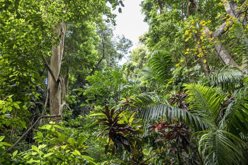 Floresta da selva nos Tropes fotografia de stock