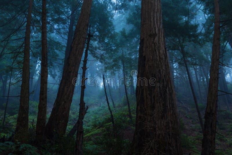 Floresta da sequoia vermelha de Big Sur imagem de stock