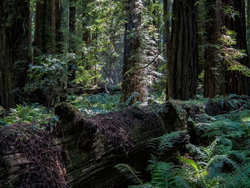 Floresta da sequoia vermelha de Califórnia imagens de stock royalty free