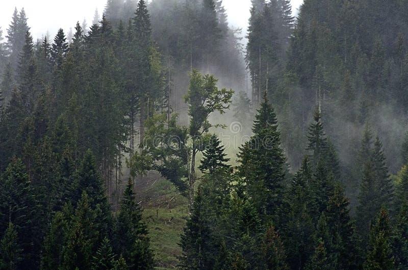 Floresta das coníferas com névoa fotografia de stock royalty free