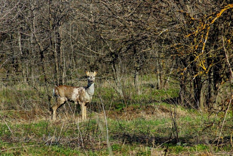 Floresta das ovas na primavera imagens de stock royalty free