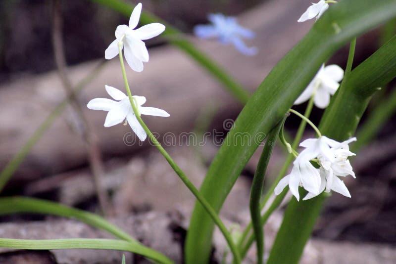 Floresta das prímulas na primavera imagens de stock royalty free