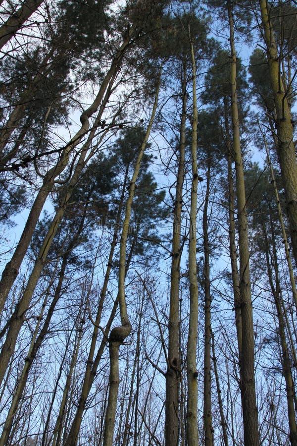 Floresta de árvores altas e de troncos finos imagens de stock royalty free
