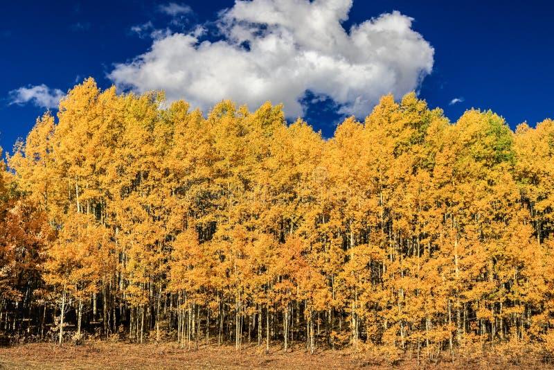 Floresta de árvores novas de Aspen no outono foto de stock royalty free