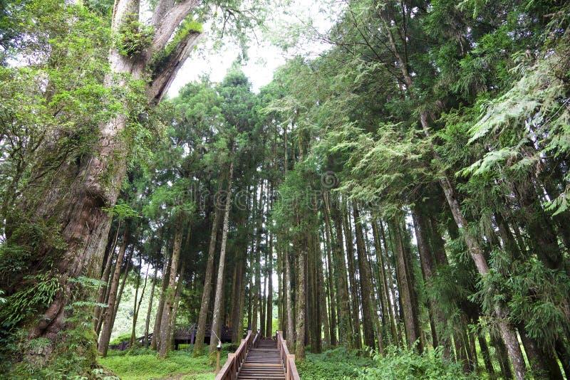 A floresta de Alishan mauntian foto de stock royalty free