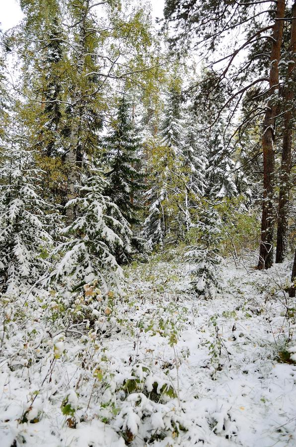 Floresta de Altay foto de stock