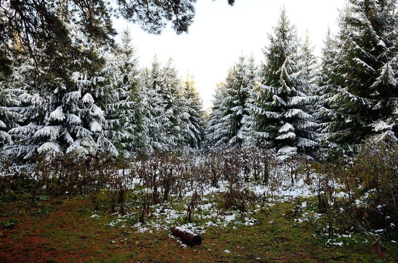 Floresta de Altay foto de stock royalty free