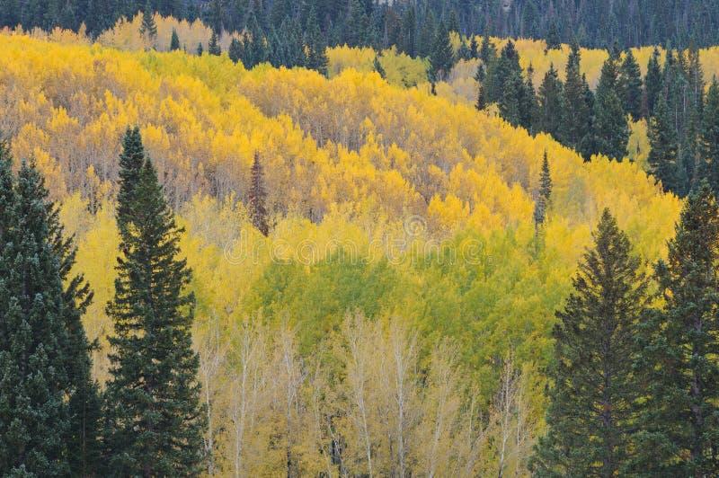 Floresta de Aspen do outono imagem de stock