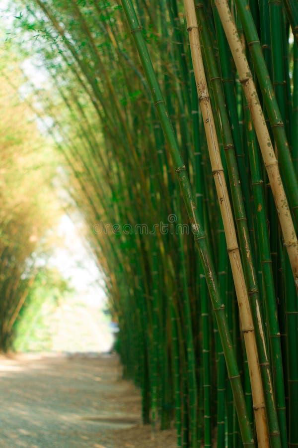 Floresta de bambu com natureza tão bonita do por do sol foto de stock