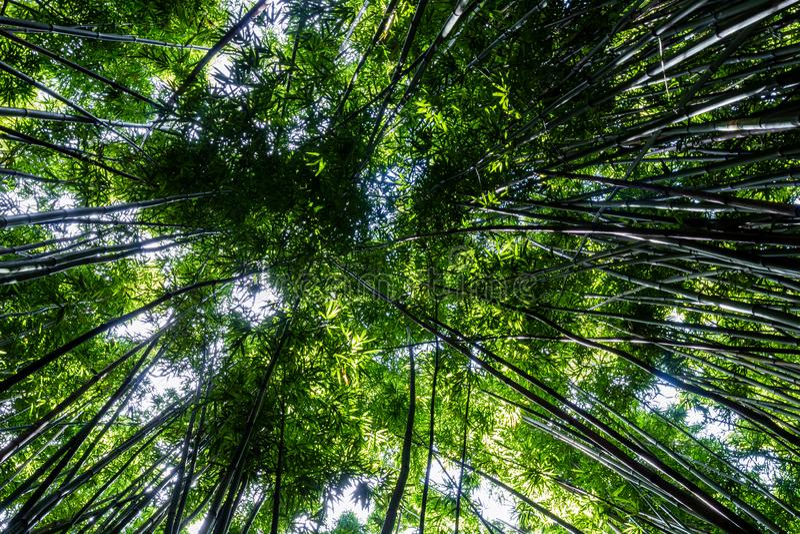 Floresta de bambu densa na fuga de Pipiwai fotografia de stock
