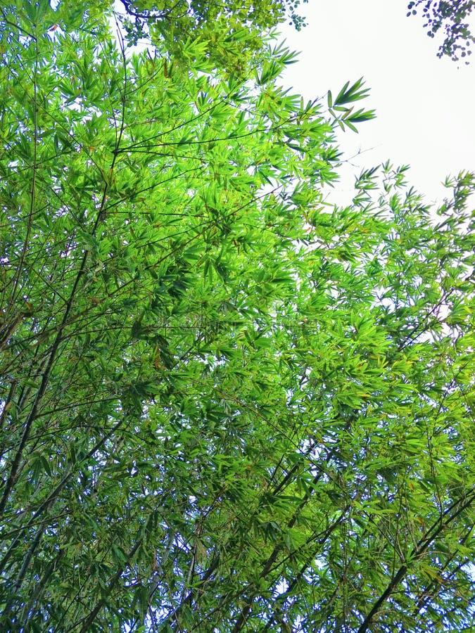 Floresta de bambu em Tailândia foto de stock