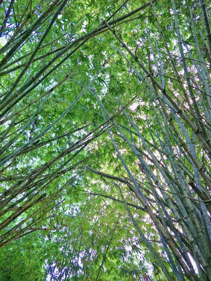 Floresta de bambu em Tailândia fotografia de stock