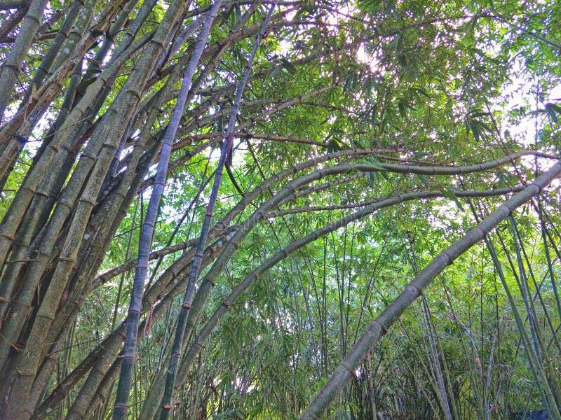 Floresta de bambu em Tailândia fotografia de stock royalty free