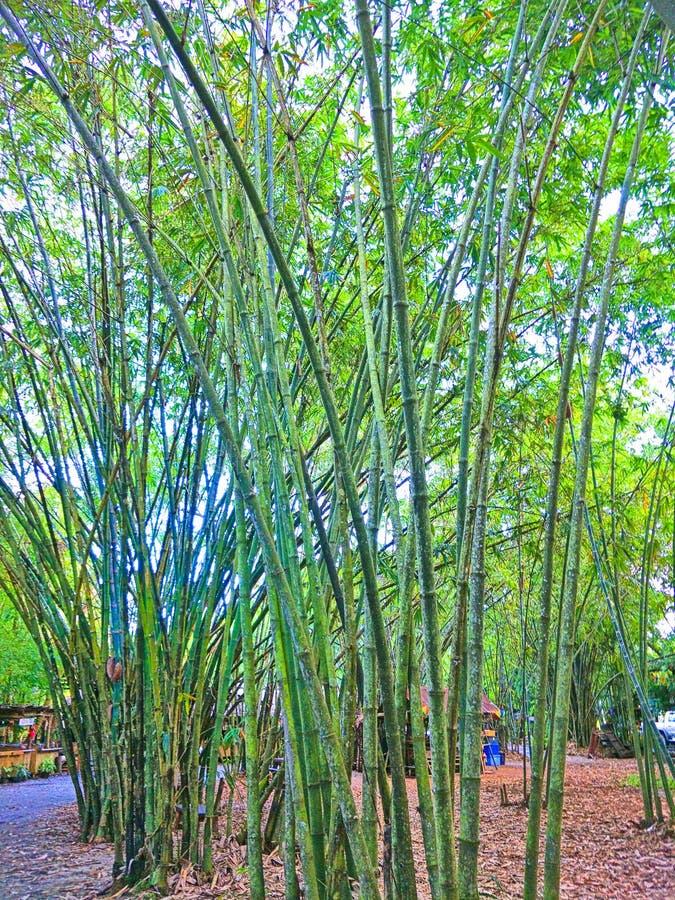 Floresta de bambu em Tailândia fotos de stock