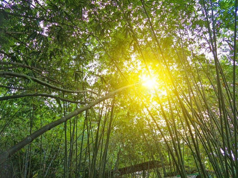 Floresta de bambu em Tailândia fotos de stock royalty free