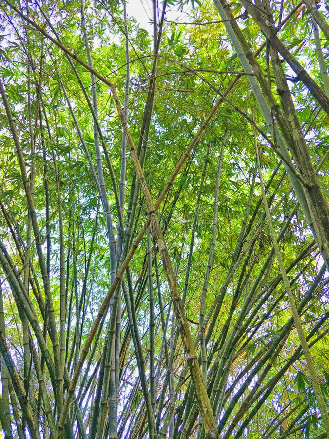Floresta de bambu em Tailândia imagens de stock royalty free