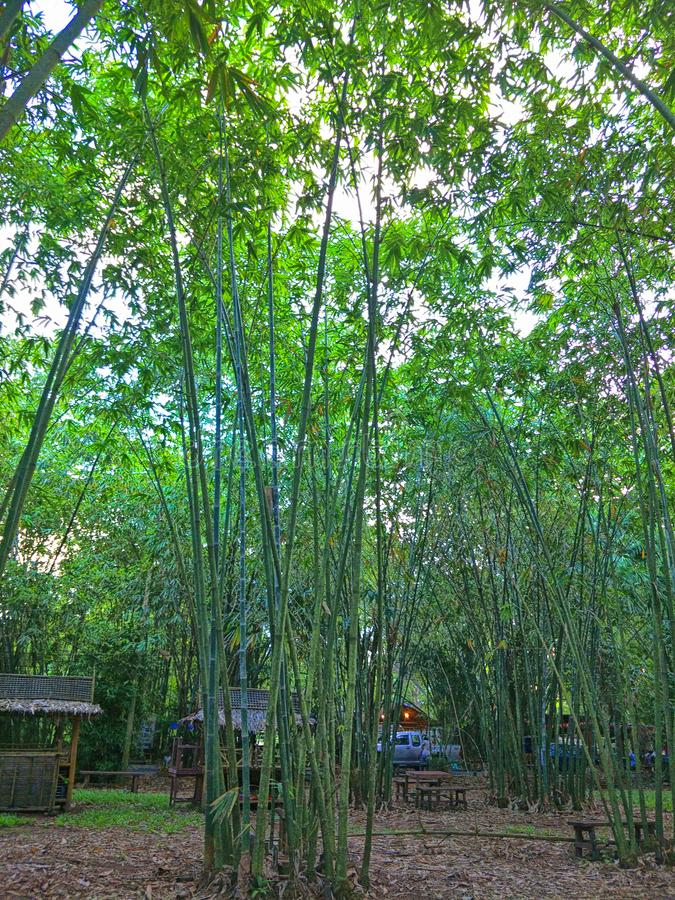 Floresta de bambu em Tailândia imagem de stock