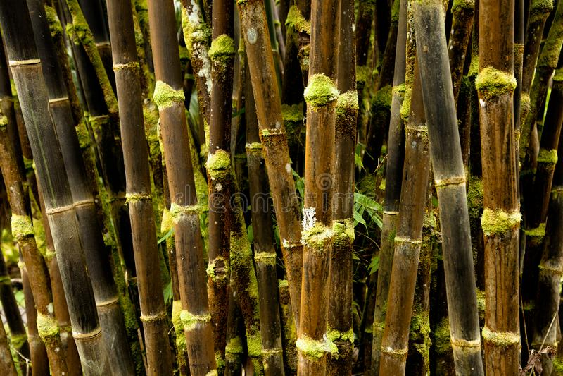 Floresta de bambu preta de Havaí velho foto de stock