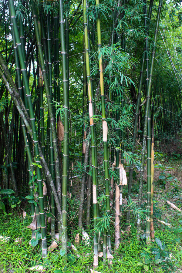 Download Floresta de bambu verde imagem de stock. Imagem de brilhante - 26508929