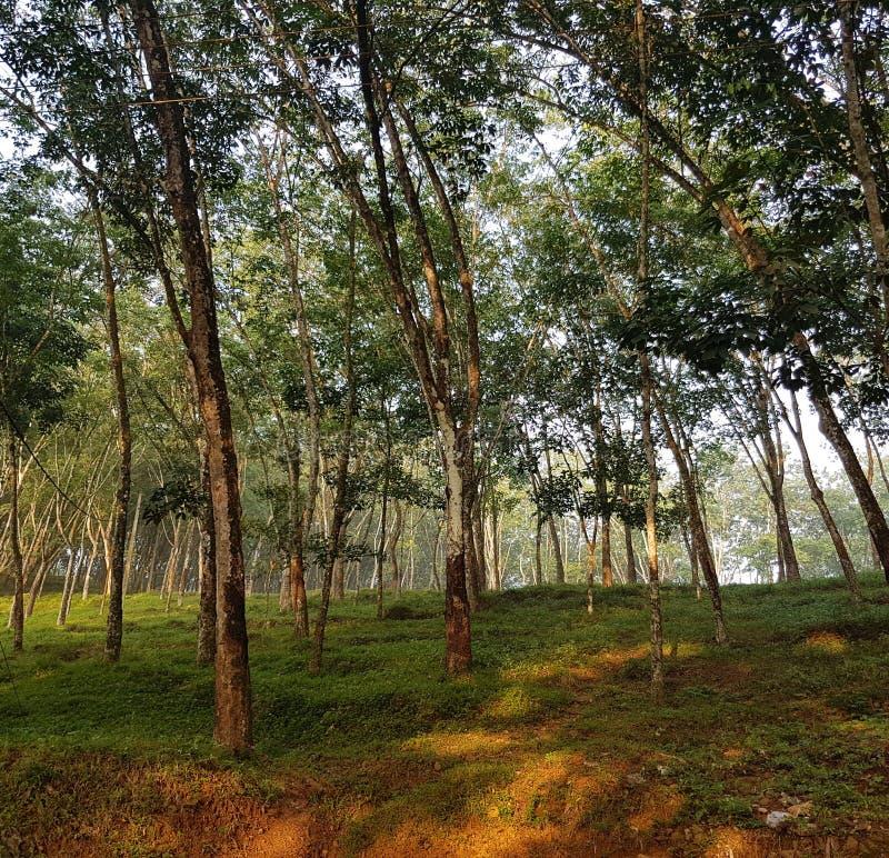 Floresta de borracha imagem de stock royalty free