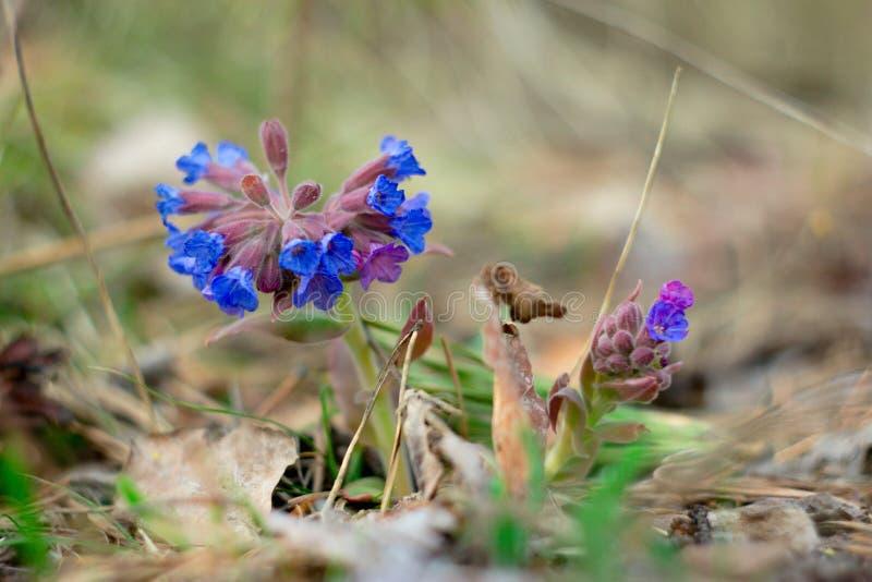 Floresta de Lungwort na primavera fotos de stock royalty free