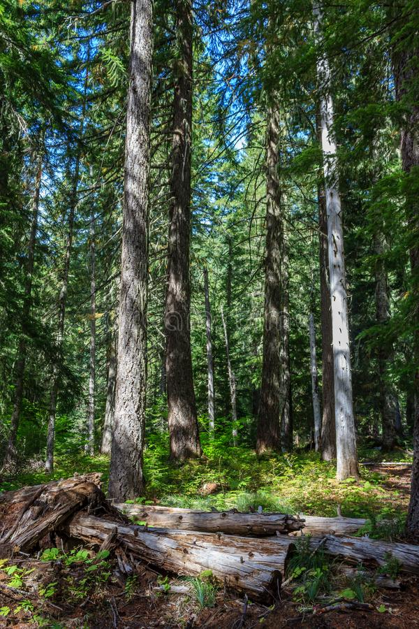 Floresta de Oregon fotos de stock