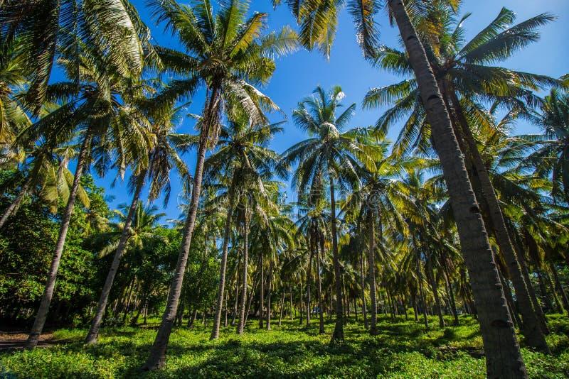 Floresta de palmeiras tropicais fotografia de stock