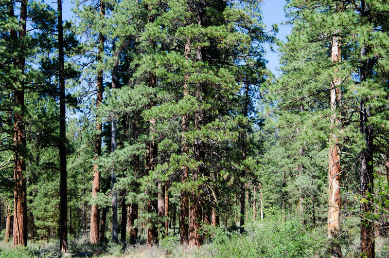 Floresta de pinheiros de Ponderosa fotografia de stock
