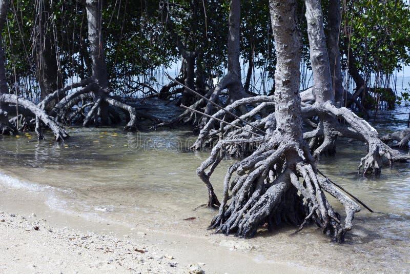 A floresta de raizes da árvore dos manguezais cresce na praia branca da areia imagem de stock royalty free