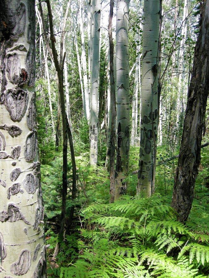 Floresta de Rocky Mountain no verão fotografia de stock