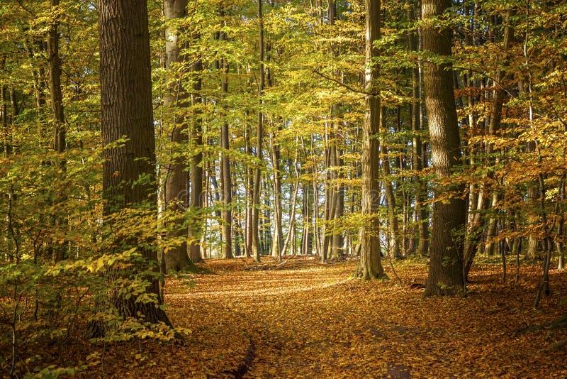 Floresta decíduo em um dia ensolarado do outono com as folhas coloridas em t fotografia de stock royalty free