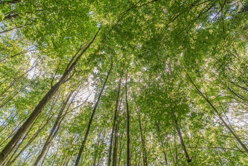 Floresta decíduo nova na primavera com o sol que brilha através das folhas verdes foto de stock royalty free