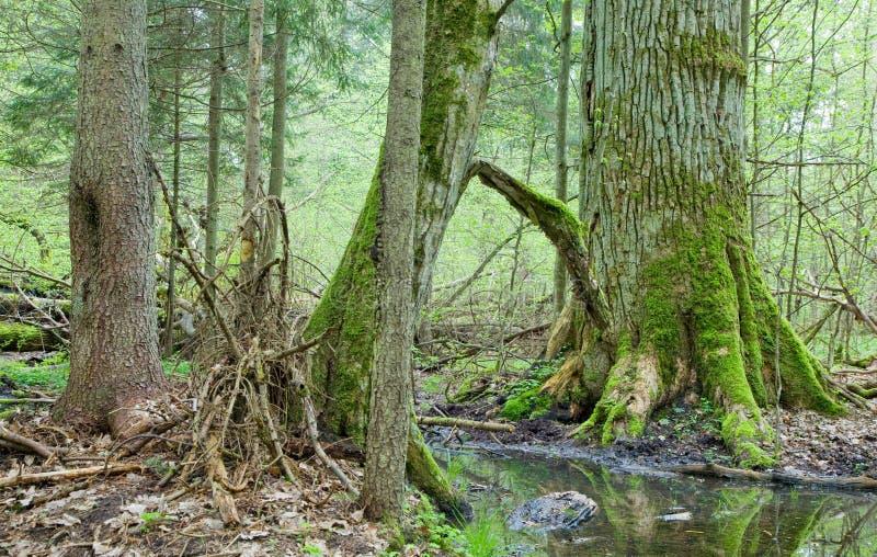 Floresta deciduous da primavera fotos de stock