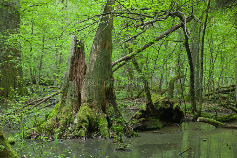 Floresta deciduous da primavera com água ereta fotos de stock royalty free