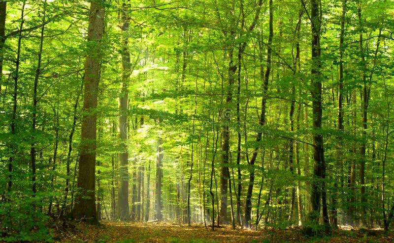 Floresta Deciduous no verão fotos de stock royalty free