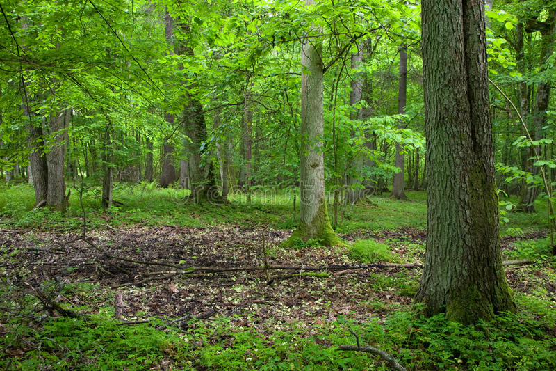 Floresta deciduous rica na primavera foto de stock royalty free