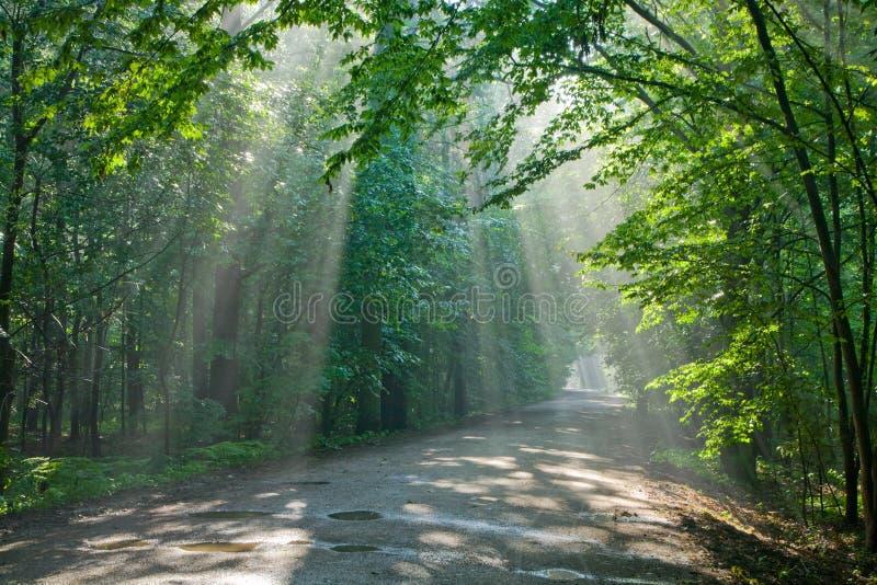 Floresta deciduous velha com feixes de entrar da luz fotos de stock