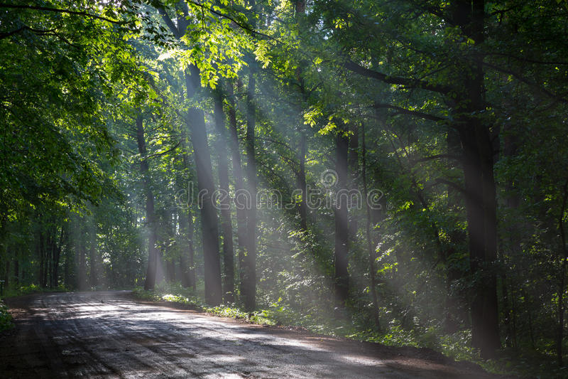Floresta deciduous velha com feixes de entrar da luz fotos de stock royalty free