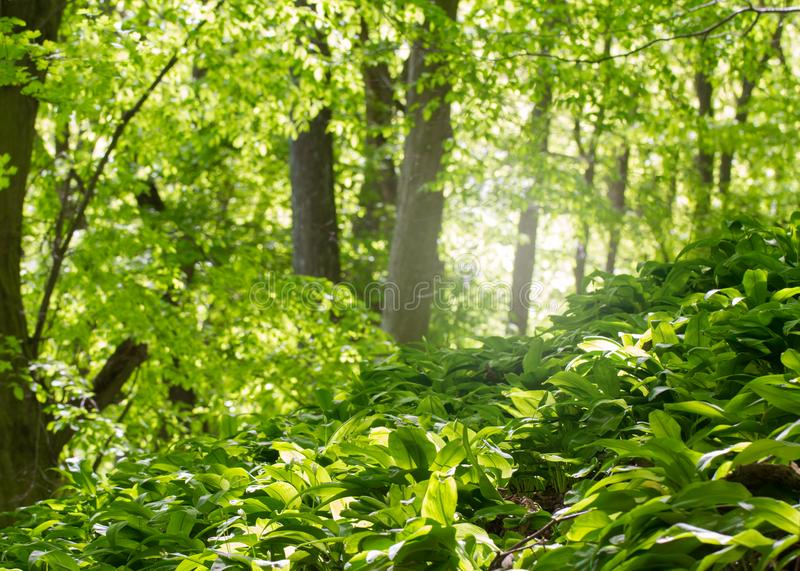Floresta deciduous verde foto de stock