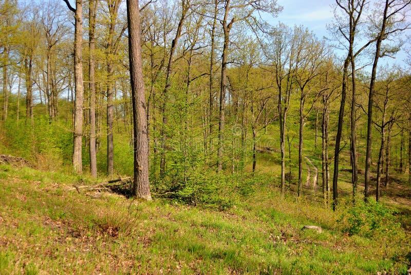 Floresta deciduous verde foto de stock royalty free