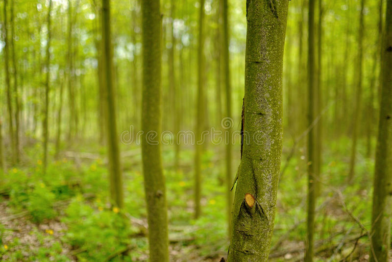 Floresta deciduous verde fotos de stock royalty free