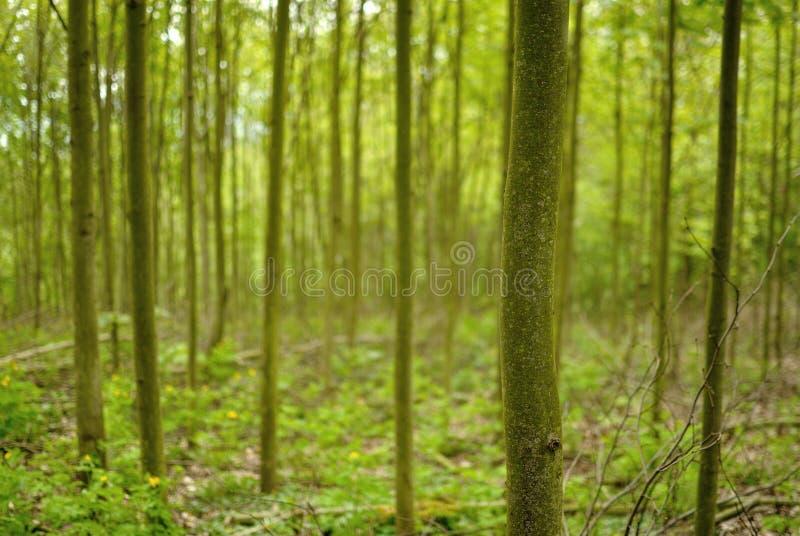 Floresta deciduous verde fotografia de stock royalty free