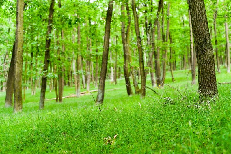 Floresta deciduous verde imagem de stock