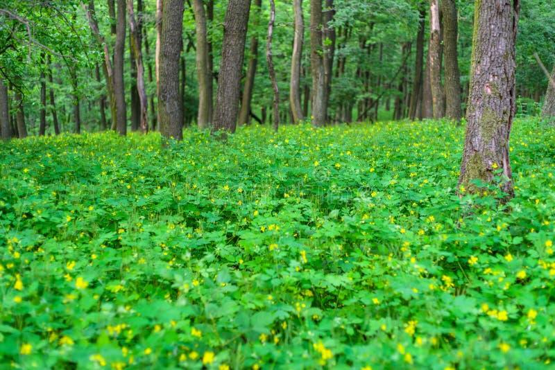 Floresta deciduous verde fotografia de stock