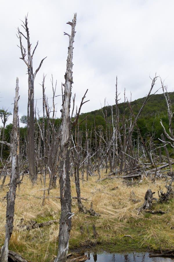 Floresta destruída por castores, parque de Tierra del Fuego, Argentina imagens de stock royalty free